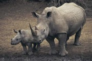 Businessman Admits to Illegally Trafficking Horns from Endangered Black Rhinoceros