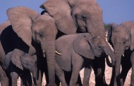 Pool Cue Maker Sentenced for Helping Smuggle Elephant Ivory