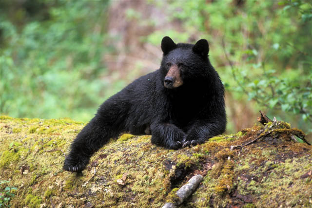 Virginia Resident Guilty of Illegally Buying American Black Bear Parts