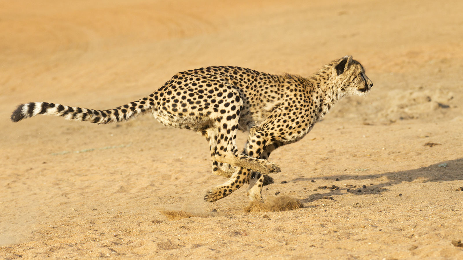 The Fastest Animal on the Planet isn't a Cheetah. It's a Bird.
