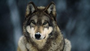 National Geographic Gray Wolf