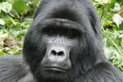 10 amazing gorilla facts  Discover fascinating facts about the gorilla