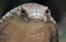California Man Arrested for Smuggling King Cobras into the U.S.