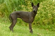 This Hairless Mexican Dog Has a Storied, Ancient Past