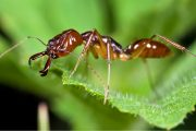National Geographic: Self-Sacrificing Ants Refuse Treatment for Wounds