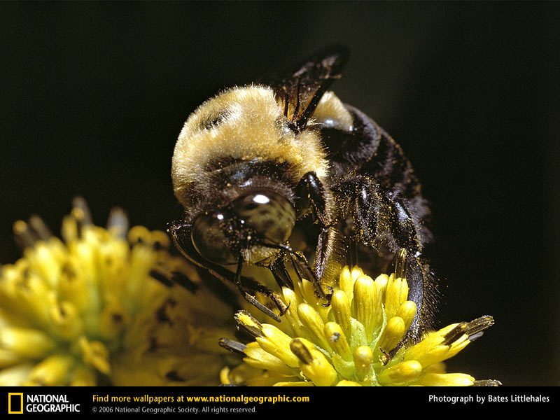 First U.S. Bumblebee Officially Listed as Endangered