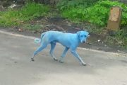 National Geographic: Blue Dogs Spotted in India—What's Causing It?