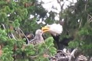 National Geographic:  Hawk Raised by Eagles Is Starting to Act Like One