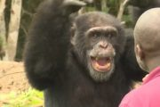 How a Lone Chimp Finds Solace With His Human Caretaker