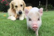 The Ballad of Luna the Pig and Cloud the Dog
